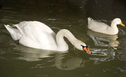 White swan in the water Royalty Free Stock Photos