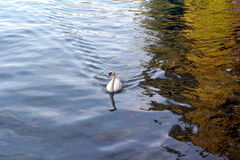 White swan in the water's edge stock image