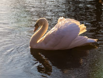 White swan on the water Royalty Free Stock Image