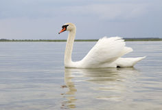 White swan on water surface. Stock Photo