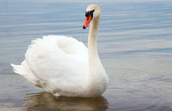 White swan on water surface. Royalty Free Stock Images
