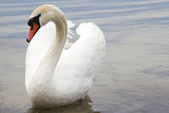 White swan on water surface. Stock Photos