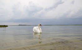 White swan on water surface. Royalty Free Stock Image