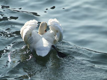 White swan in water Stock Photo
