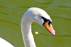 White swan in the water. Royalty Free Stock Image