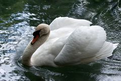 White swan in water Royalty Free Stock Photography