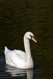 White swan in water Royalty Free Stock Image