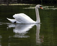 White swan on water Royalty Free Stock Image