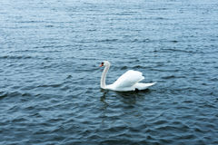 White swan on the waters lake Royalty Free Stock Images
