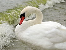 White swan Stock Photos