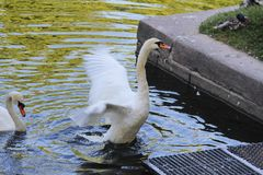 A lone white Swan flaps its wings stock photo