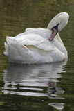 A white swan stock photography
