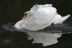 A white swan royalty free stock photos
