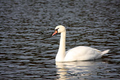 White swan Stock Photo