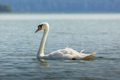White swan on Wigry lake, Poland. Stock Images