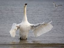 White swan in the wild royalty free stock photo