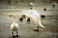 White Swan wings Royalty Free Stock Image