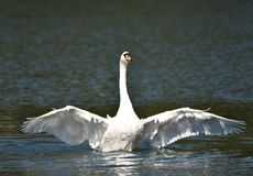 White Swan Wings Outstretched. A white mute swan, with neck out stretched, flaps is huge wings on a lake royalty free stock images