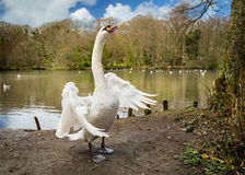 White Swan, wings spread (2). A beautiful, white swan spreads it large wings at Tehidy Country Park, Cornwall Royalty Free Stock Photos