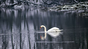 White Swan in Winter Lake Stock Images