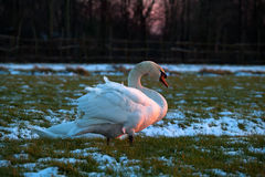 White swan on winter meadow in sunset light. White swan on snowy winter meadow in sunset light Royalty Free Stock Photo