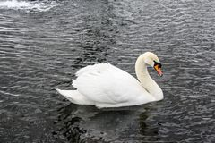 White swan on a winter pond royalty free stock photography
