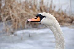 White swan winter Royalty Free Stock Photo