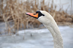 White swan winter Stock Image