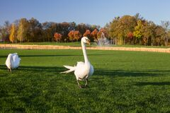 Free White Swan With A Broken Wing Walks Along A Golf Course In Mezhyhirya National Park, The Residence Of The Former President Of Ukra Royalty Free Stock Photo - 201264945