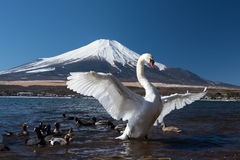 White swan in yamanaka lake Royalty Free Stock Photography