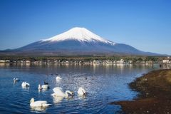 White Swan at Yamanaka lake and mt. Fujisan. Group of White Swans eat feeding foods at Yamanaka lake with mountain Fujisan and blue sky background, Yamanashi Stock Photo