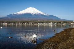 White Swan at Yamanaka lake. Swan at shore look for food to eat at Yamanaka lake with mount Fuji view in morning with clear blue sky, Yamanashi, Japan Royalty Free Stock Photography
