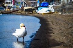 White swan in yamanakako lake. Portrait of white swan standing on the shore of yamanaka lake with boat background in Yamanashi, Japan stock images