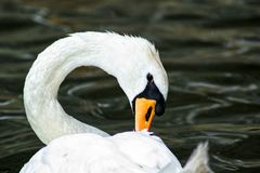 White swan in the water royalty free stock photography