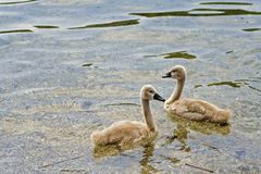 White Swans. Young White Swans royalty free stock image