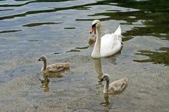 White Swans. Swan Family Stock Image