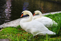 White swans. Two white swans standing on beautiful shore of pond Royalty Free Stock Photo