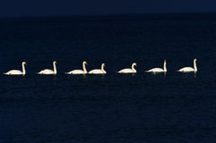 White swans. Swimming in baltic sea Royalty Free Stock Photos
