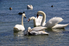 White swans. Swimming in sea Stock Photos