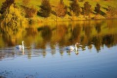 White swans Stock Photos