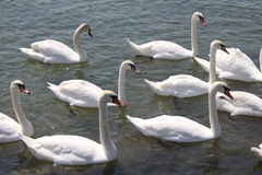 White swans. Beautiful and graceful  white swans on the water Royalty Free Stock Images