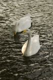 White Swans. Two white swans swimming side by side on a lake Stock Photo