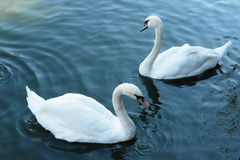White swans. Two white swans floating in a pond Stock Images