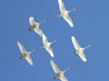 White swans. Six white swans in flight in a blue sky Stock Images