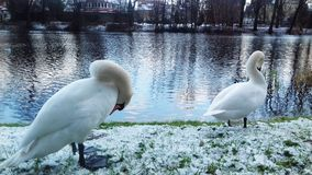 White swans adorn the channel in Poland. Picture taken during a walk through the town of Slupsk royalty free stock photo