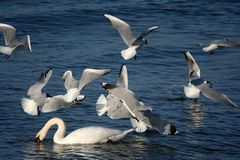 White Swans And Flying Seagulls Stock Image