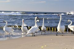 White swans on beach Stock Photos