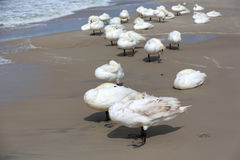 White swans on the beach in Kolobrzeg. White swans stopped at a beach by the sea and they hide themselves against the strong wind. It is seen on the Baltic Sea Royalty Free Stock Photos