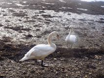 White swans at Berwick upon tweed, Northumberland UK Stock Images
