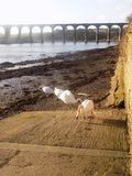 White swans at Berwick upon tweed, Northumberland UK. Lovely white  swans, by the river Tweed at Berwick -upon-Tweed. Northumberland, England, UK Royalty Free Stock Photography